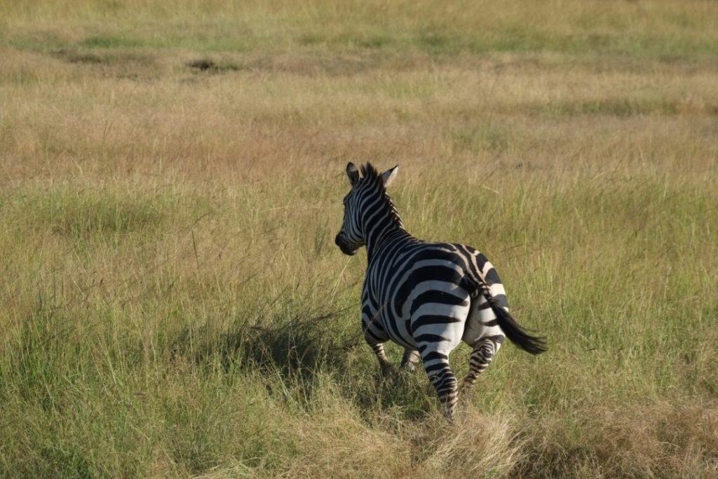 No matter how often you see them, zebras never fail to impress. Image by Elham Shabahat. Rwanda, 2017.