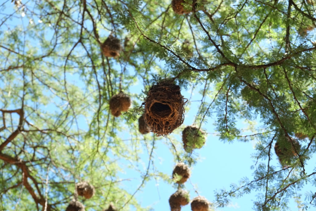 A tree full of weaver bird nests—a common sight in Akagera. Male weaver birds craft these intricate homes to attract females and raise their young. Image by Elham Shabahat. Rwanda, 2017.