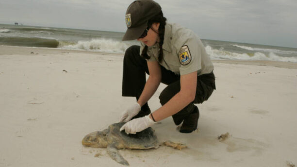 Changes in Ocean Currents and Temperatures Leave Cold-Stunned Turtles Stranded on Cape Cod